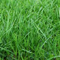 多年生黑麦草种子,张家界地区有草坪种子供应