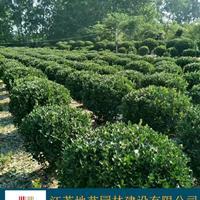 大葉黃楊球基地、大葉黃楊球產地、江蘇地藝園林大葉黃楊球