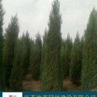 地藝苗圃大量北京檜柏 北京檜柏基地 北京檜柏圖片