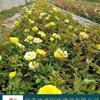 江蘇黃帽月季 江蘇紅花月季價格 大花月季價格 品種月季價格