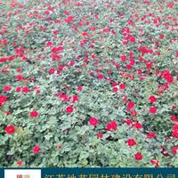 红花月季 大花月结 地艺苗圃大量供应品种月季 月季基地