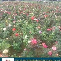 江蘇月季價格 豐花月季價格 品種月季基地 江蘇地藝苗圃