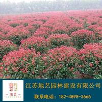 地艺苗圃大量供应红叶石楠球 红叶石楠球基地 红叶石楠球价格