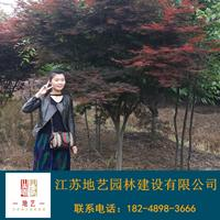江苏红枫价格 中国红枫价格 地艺苗圃大量供应红枫