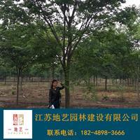 供应榉树产地 江苏地艺园林苗圃基地 江苏榉树价格 江苏红榉