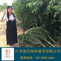 木槿 江蘇木槿價格產地 江蘇地藝園林苗圃基地
