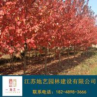 美国红枫产地 江苏地艺园林苗圃基地 江苏美国红枫价格
