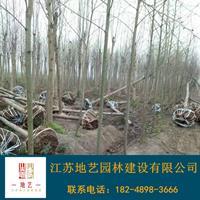 供應馬褂木產地 江蘇地藝園林苗圃基地 江蘇馬褂木價格