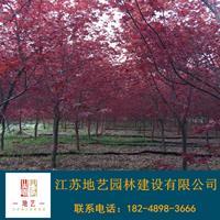 地艺苗圃大量供应日本红枫 日本红枫基地日本红枫价格