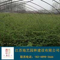 蔷薇 地艺苗圃大量供应蔷薇 江苏蔷薇价格