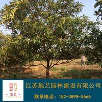 供應枇杷樹產地 江蘇地藝園林苗圃基地 江蘇枇杷樹價格