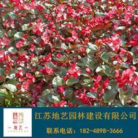 基地直銷四季海棠 四季海棠照片 江蘇四季海棠產地