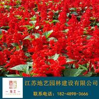 一串红 江苏一串红产地 江苏地艺园林苗圃基地