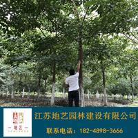 地藝苗圃大量供應重陽木 重陽木基地 江蘇重陽木價格