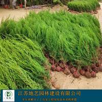 地艺苗圃大量北京桧柏 北京桧柏基地 北京桧柏图片