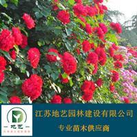 地艺苗圃大量供应红花蔷薇 红花蔷薇基地 红花蔷薇价格