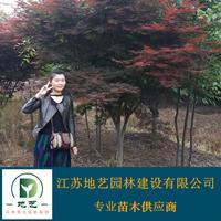 江蘇紅楓價格 中國紅楓價格 地藝苗圃大量供應紅楓