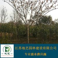 供应合欢产地 江苏地艺园林苗圃基地 江苏合欢价格