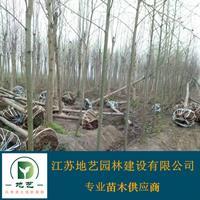 供应马褂木产地 江苏地艺园林苗圃基地 江苏马褂木价格
