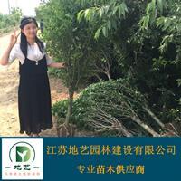 木槿 江苏木槿价格产地 江苏地艺园林苗圃基地