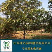 供应枇杷树产地 江苏地艺园林苗圃基地 江苏枇杷树价格