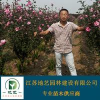 地艺苗圃大量供应红花木槿 江苏红花木槿基地 红花木槿图片