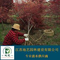 地藝苗圃大量供應日本紅楓 日本紅楓基地日本紅楓價格