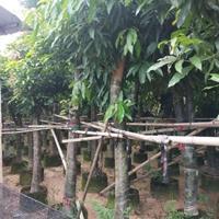 芒果树袋苗