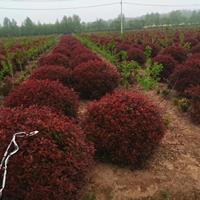 供應1.2米-1.5米冠幅紅葉石楠球沭陽價格