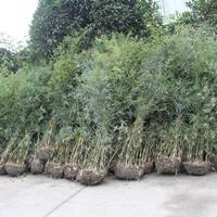 哪里有2-3米高的琴丝竹出售.成都琴丝竹批发种植基地