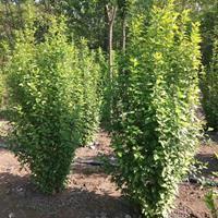 沭阳1米-1.2米冠幅丛生木槿基地价格
