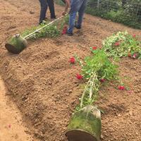 60公分-80公分-1米高红花蔷薇批发价格