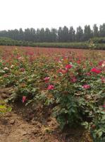 河南盆栽月季,报价0,7元,迎春,石楠,连翅,金叶黄杨等等齐