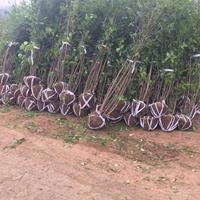 1米-1.2米冠幅叢生臘梅產地價格