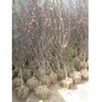 沭阳榆叶梅3-4公分新价格