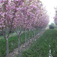 樱花价格4-5公分樱花产地价格