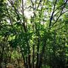 丛生蒙古栎产地