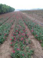 河南地栽豐花月季,玫瑰,墻微等等0,6元