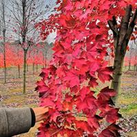 金華茂林供應美國紅楓《十月光輝紅冠王紅福》