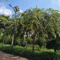 凯创园林直供精品小叶朴——朴树中的精品