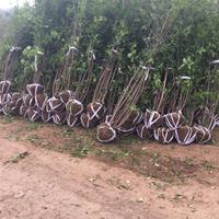 2.5米冠幅叢生臘梅江蘇價格
