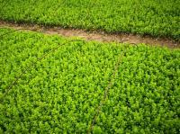 出售各类地被小床苗基地/价格/图片、卫毛、黄杨、锦带、迎春