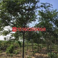 供應10公分樸樹350元 樸樹產地 樸樹圖片