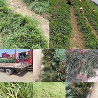 麦冬草,大,小叶麦冬草价格,金边麦冬草价格,阔叶麦冬草