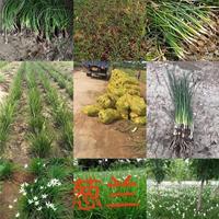 葱兰小苗价格高度10公分-20公分30公分葱兰江苏多少钱