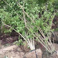 3分支5分支10分支丛生金银木价格高1米5左右江苏多少钱一棵