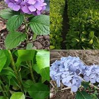 八仙花價格高度10至30公分八仙花苗多少錢