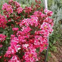 江西復花紫薇小苗批發,復色紫薇價格 紅葉覆花矮紫薇