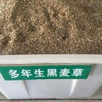 多年生黑麦草种子多少钱 多年生黑麦草批发