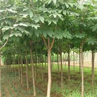 優質特價百花七葉樹 七葉樹  紅花七葉樹產地直銷